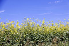 Field of Manitoba Canola in blossom 7 Stock Photo