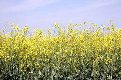 Field of Manitoba Canola in blossom 8 Stock Photos