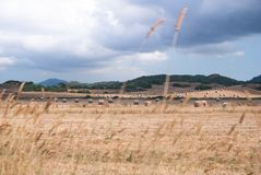 Field with many bales of hay scattered in a windy day royalty free stock images
