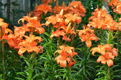 Field of many lily in garden Stock Photography