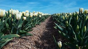 Field with many tulips, Alkmaa. North Holland stock footage