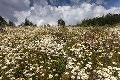 Field of many white daisies and other wild flowers Royalty Free Stock Images