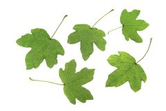 Field maple (Acer campestre) Stock Image