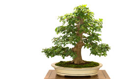 Field maple Acer campestre as bonsai tree Royalty Free Stock Photography