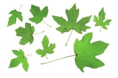 Field maple (Acer campestre) Stock Photos