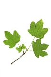 Field maple (Acer campestre) Royalty Free Stock Image