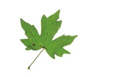 Field maple (Acer campestre) Stock Images
