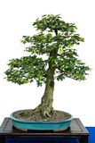 Field maple as bonsai tree Royalty Free Stock Photos