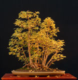Field maple bonsai in fall color Royalty Free Stock Image