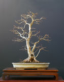Field maple bonsai in winter Royalty Free Stock Photos