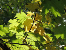 Field maple foliage. Maple leaf of Acer campestre (field maple Royalty Free Stock Photo
