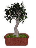 Field maple tree bonsai - 3D render Stock Image