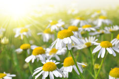 Field of marguerites Stock Image