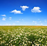 Field of marguerites. With blue sky Royalty Free Stock Photos