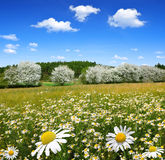 Field of marguerites Royalty Free Stock Image