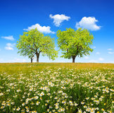 Field of marguerites with deciduous trees Royalty Free Stock Images