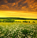 Field of marguerites Stock Photography