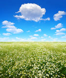 Field of marguerites Royalty Free Stock Photography
