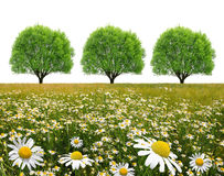 Field of marguerites with tree Royalty Free Stock Photo