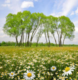 Field of marguerites Stock Images