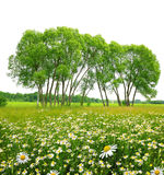 Field of marguerites with trees Royalty Free Stock Photo