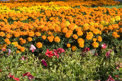 Field of marigolds. In park Stock Photo