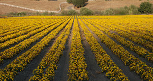 Field of Marigolds. A field of yellow marigolds in central California Royalty Free Stock Photography