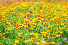 Field of marigolds Royalty Free Stock Photography