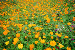 Field of marigolds. Grassy field of bright orange and yellow marigolds Stock Photography