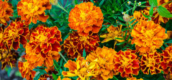 Field of marigolds. Background of flowers. bright blooming marigolds.background Stock Image