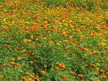 Field of Marigolds Royalty Free Stock Photo