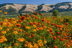 Field of marigolds with mountains Royalty Free Stock Image