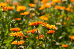 Field of marigolds Royalty Free Stock Images
