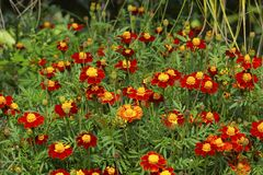 Field of Marigolds. Used in Hindu religion as decoration and auspicious flower. Marigold or GENDA phool, ZENDU, very popular flower grown all over India Stock Photos