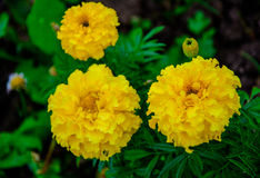 Field of marigolds.yellow flowers. Background of flowers. bright blooming marigolds.background Royalty Free Stock Photo