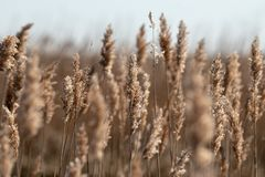 A field of marsh grass shown up close with several stalks blurred. A field of marsh grass shown up close with some stalks blurred in the background stock photos