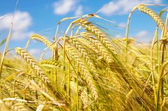 Field of mature barley Royalty Free Stock Images