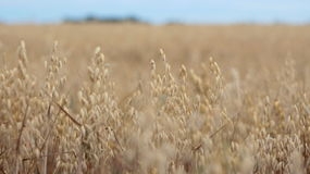 Field of mature barley. The field of mature barley and the sky Stock Image