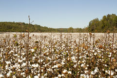 Field of mature cotton plant. Bols of cotton on plants in field of rural Tennessee Royalty Free Stock Images