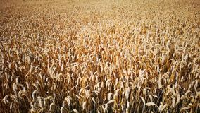 Field of mature rye cereals. A field of mature rye cereals on a sunny day stock video footage