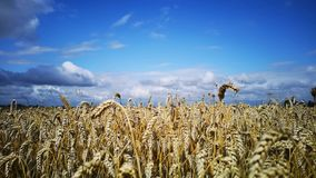 Field of mature rye cereals. A field of mature rye cereals on a sunny day stock video