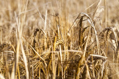 Field with mature rye Royalty Free Stock Photos