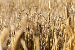 Field with mature rye Royalty Free Stock Photography