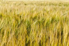 Field with mature rye Stock Images