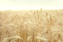 Field with mature yellow wheat. Spikelets of wheat on field. Field with mature yellow wheat. Spikelets of wheat on the field Royalty Free Stock Image