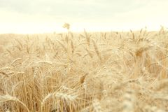 Field with mature yellow wheat. Spikelets of wheat on field. Field with mature yellow wheat. Spikelets of wheat on the field Royalty Free Stock Photos