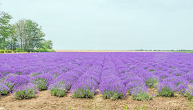 Field of mauve, purple Lavandula angustifolia, lavender, most commonly True Lavender or English lavender, garden lavender Royalty Free Stock Images