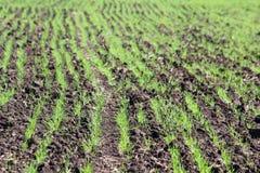 Field med lilla groddar Royaltyfri Foto