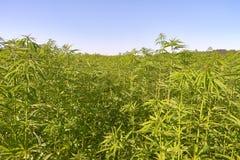 Field of medical cannabis. Stock Photos