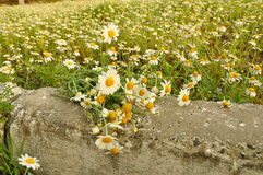 Field of medical daisies Royalty Free Stock Images